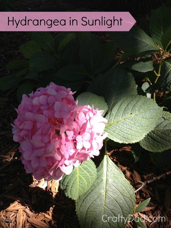 Hydrangea in sunlight