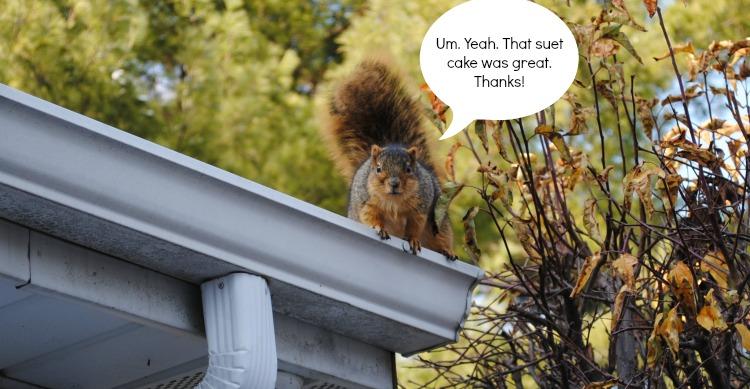 squirrel after suet cake