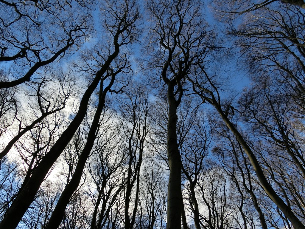 Winter sky through the tall trees